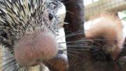 Binghamton Zoo welcomes baby porcupine on Super Bowl Weekend