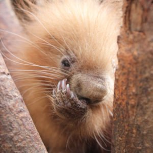 Binghamton Zoo welcomes baby porcupine on Super Bowl Weekend