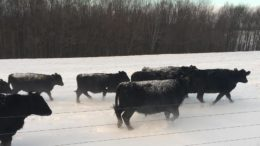 Snow Covered Cows in a New York Winter Wonderland