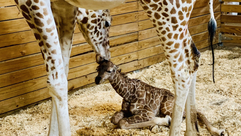 It's a boy! April the Giraffe gives birth to healthy calf