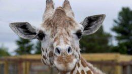 Animal Adventure Park announces passing of April the Giraffe