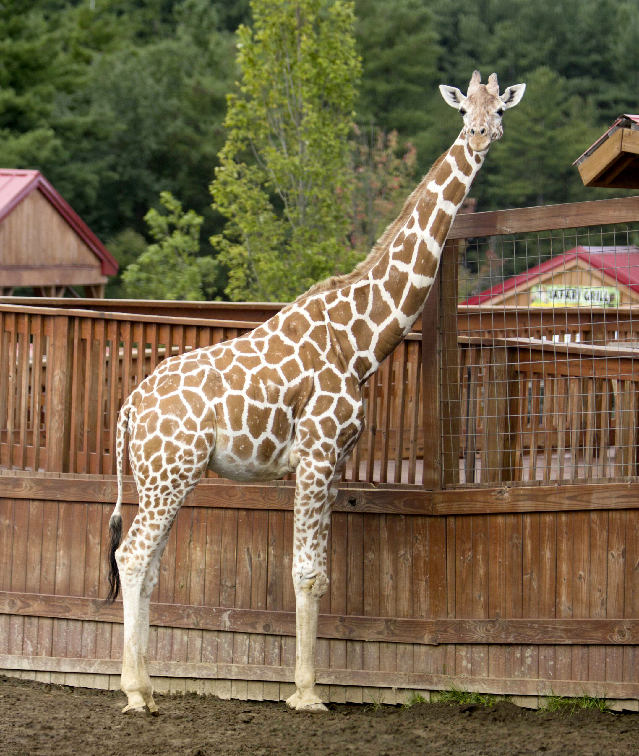 Animal Adventure Park announces passing of April the Giraffe