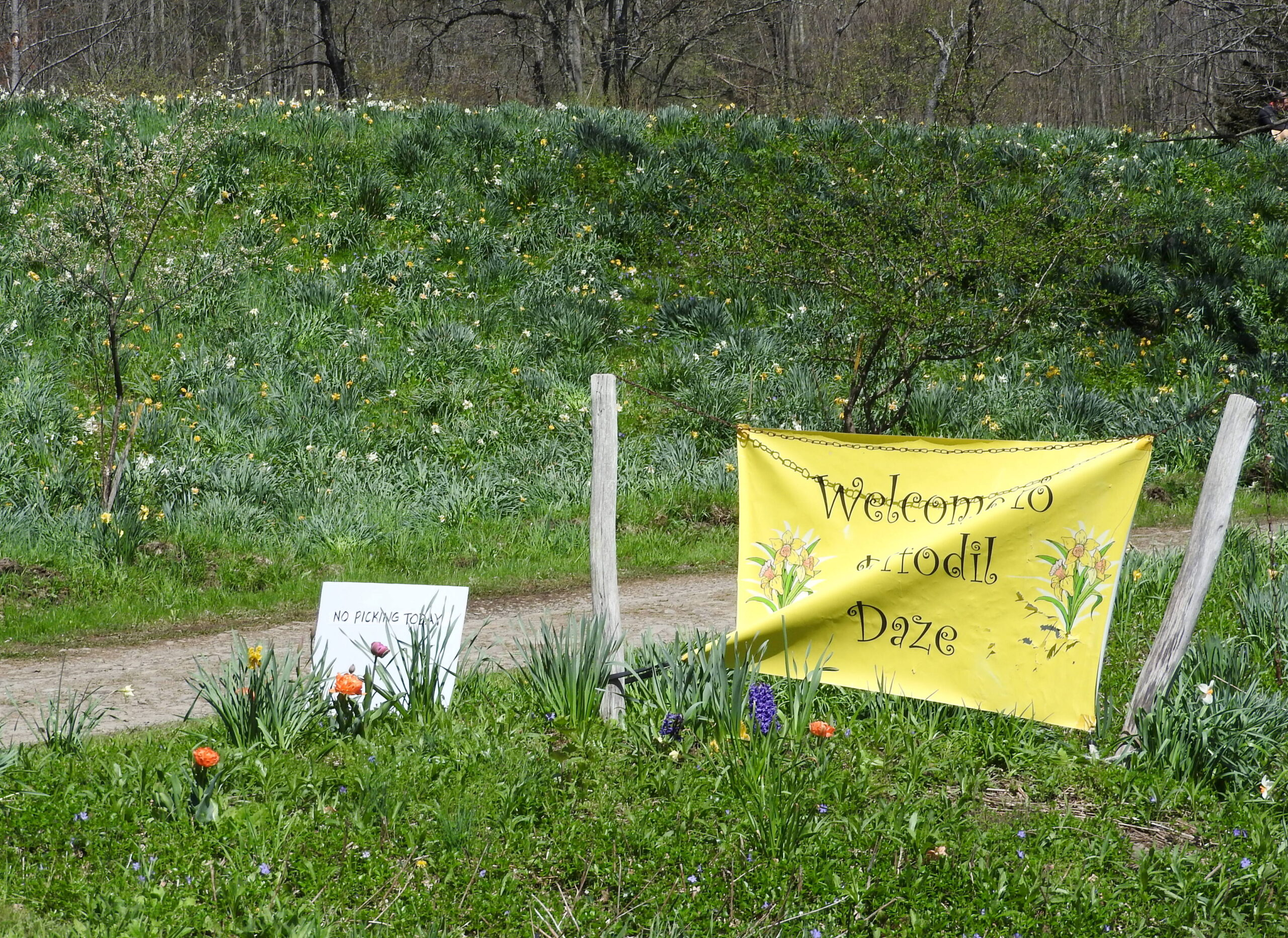 Daffodil Festival celebrates new beginnings
